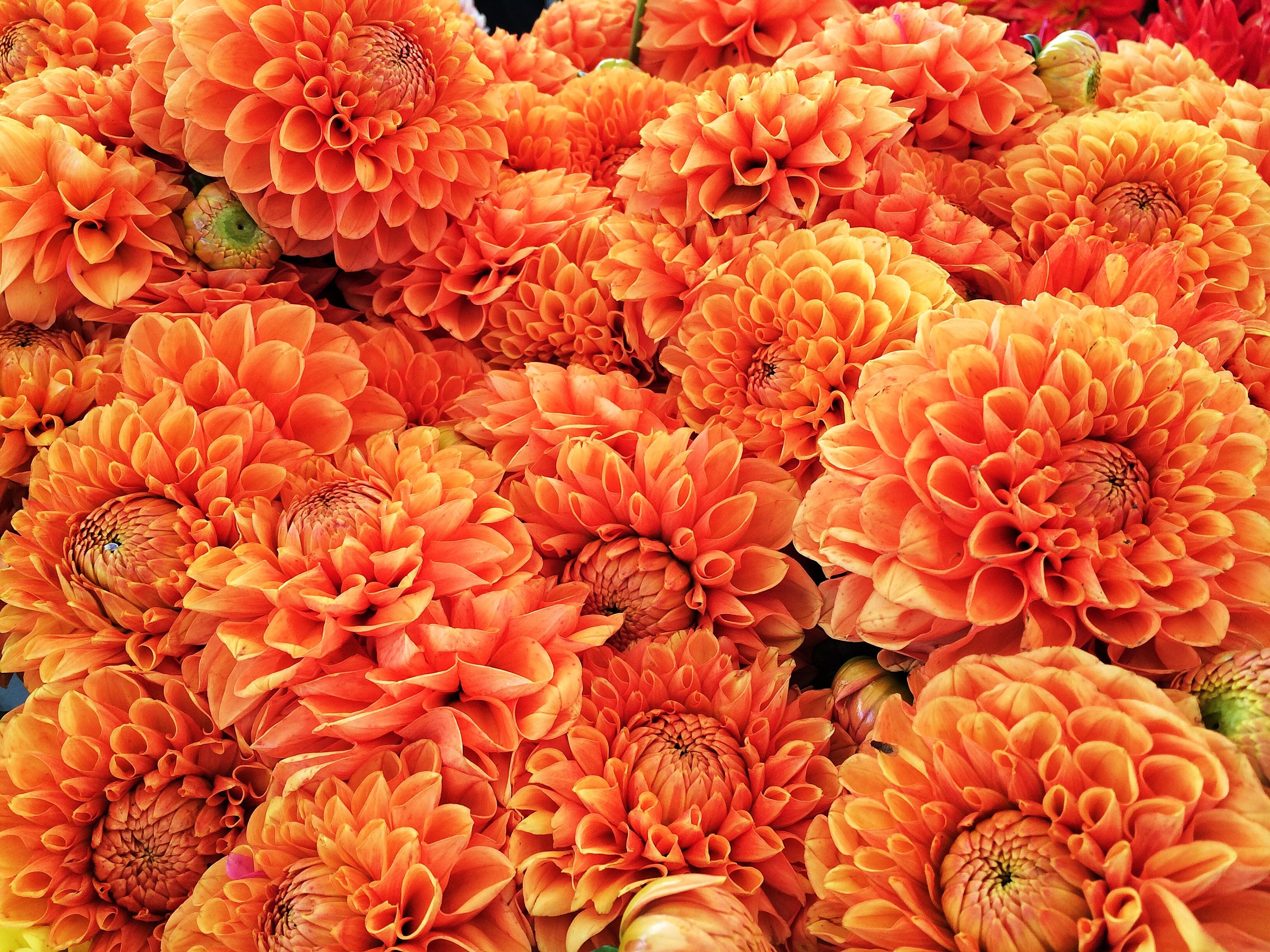 Hypnotica Orange Dahlias