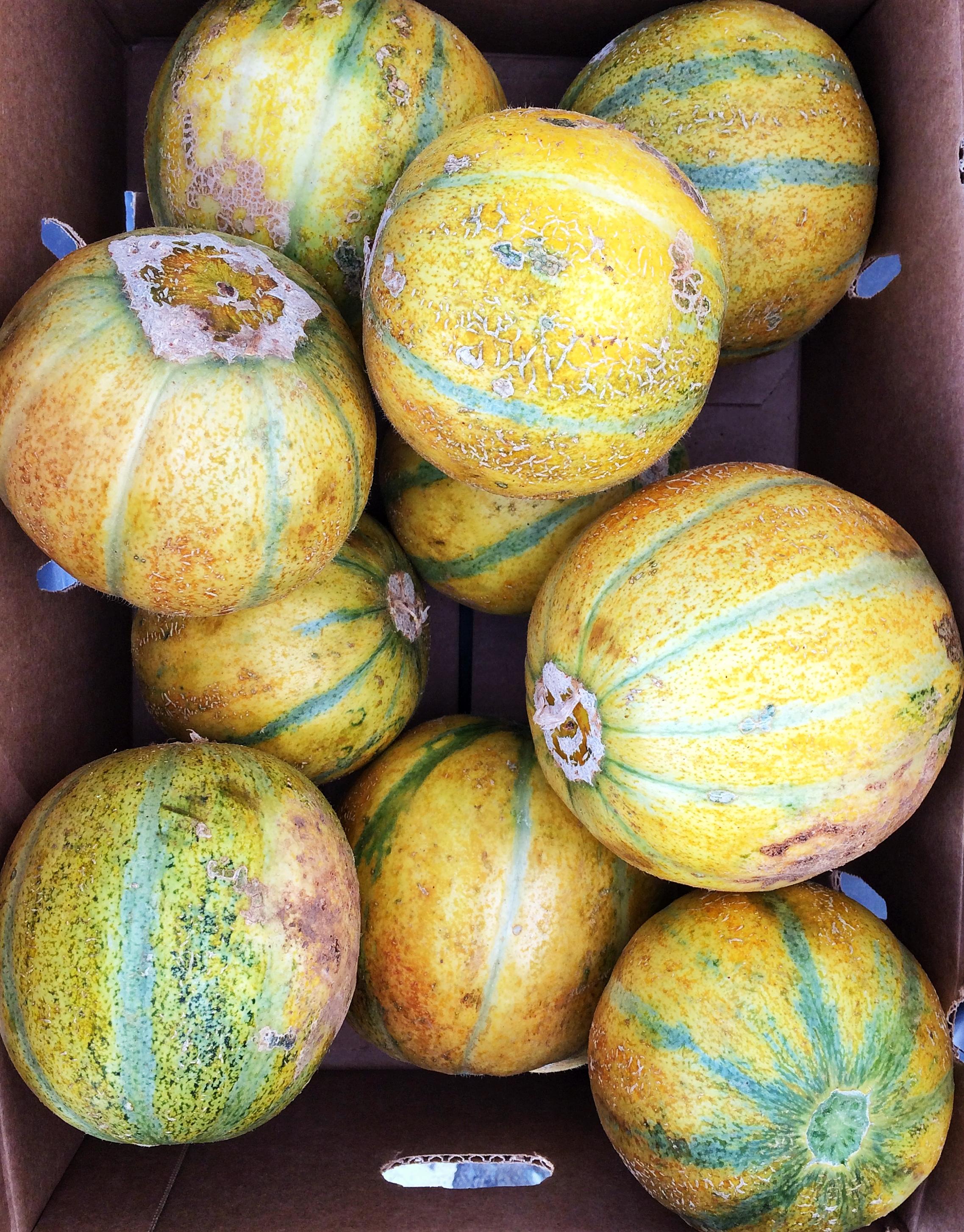 Haogen Melons