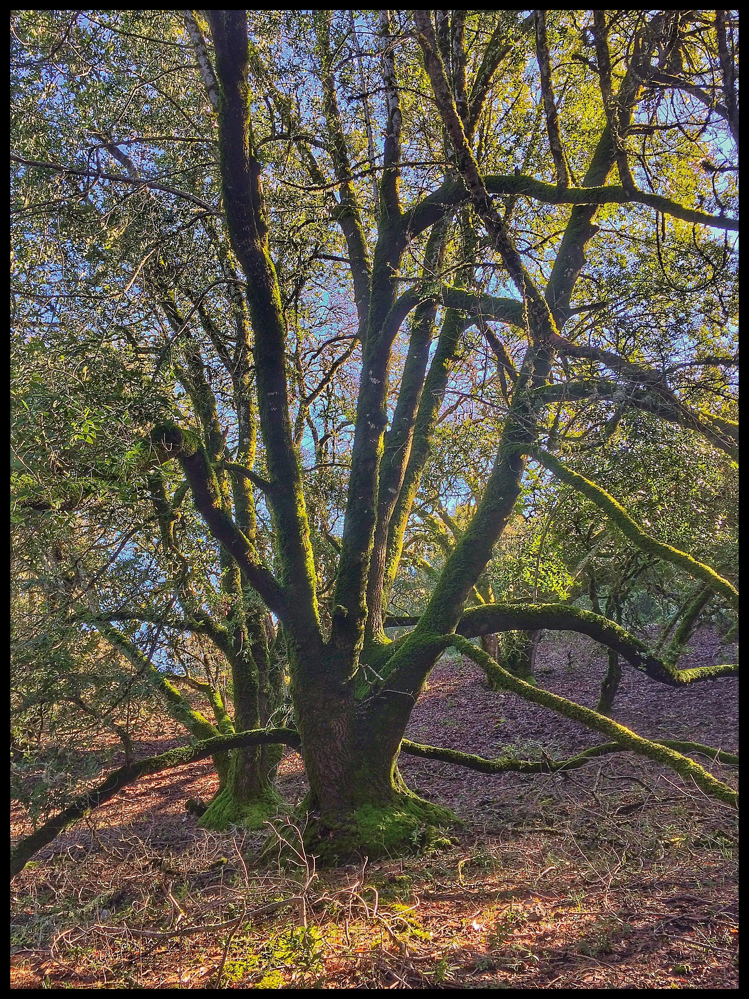The Mighty Bay Laurel Tree