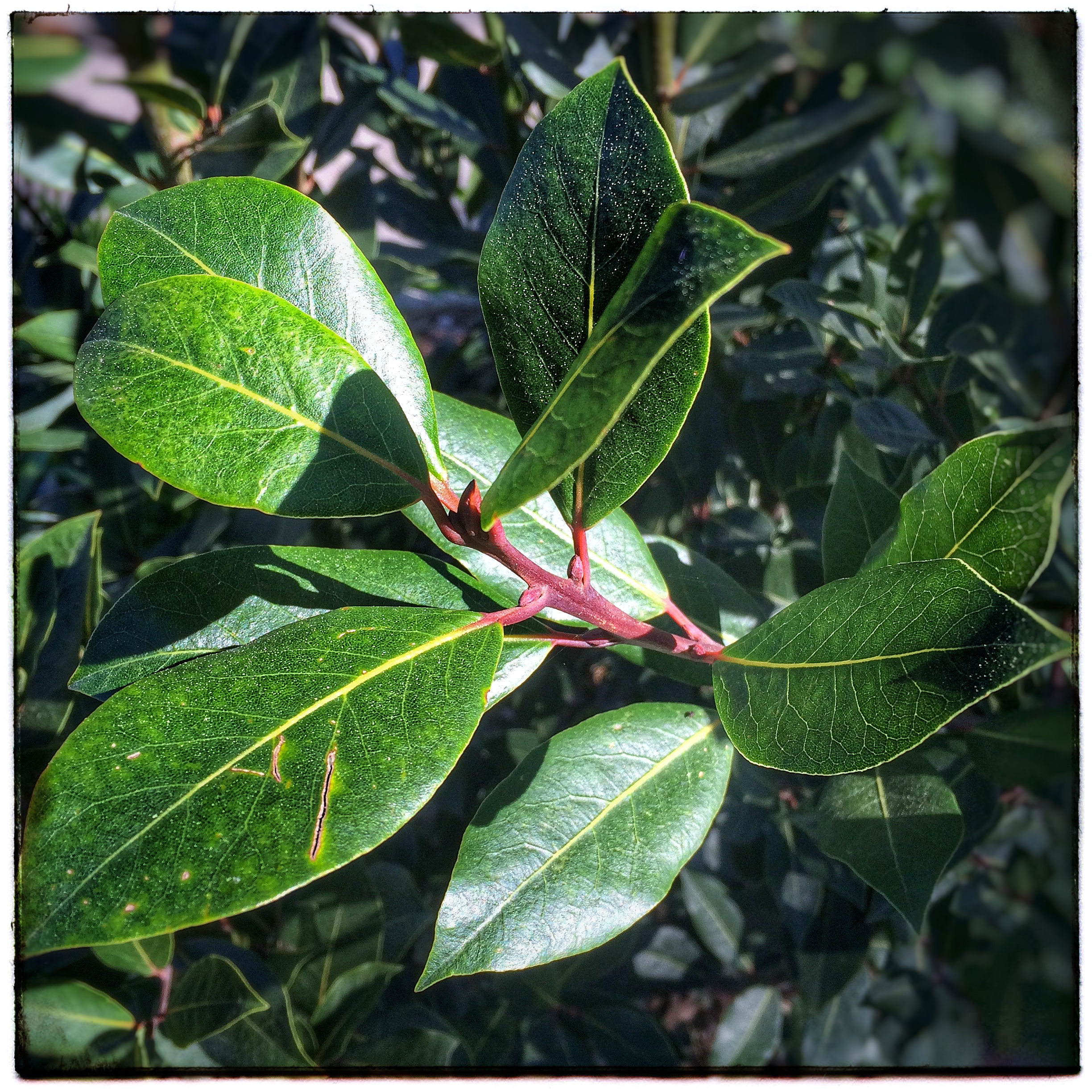 Bay Leaves on the Tree